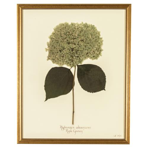 French Hydrangea Arborescens Print Botanical Framed Wall Art | Kathy Kuo Home