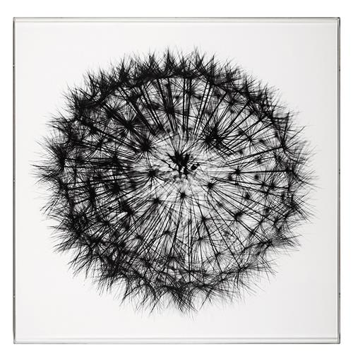 Intricate Dandelion Photo Wall Art