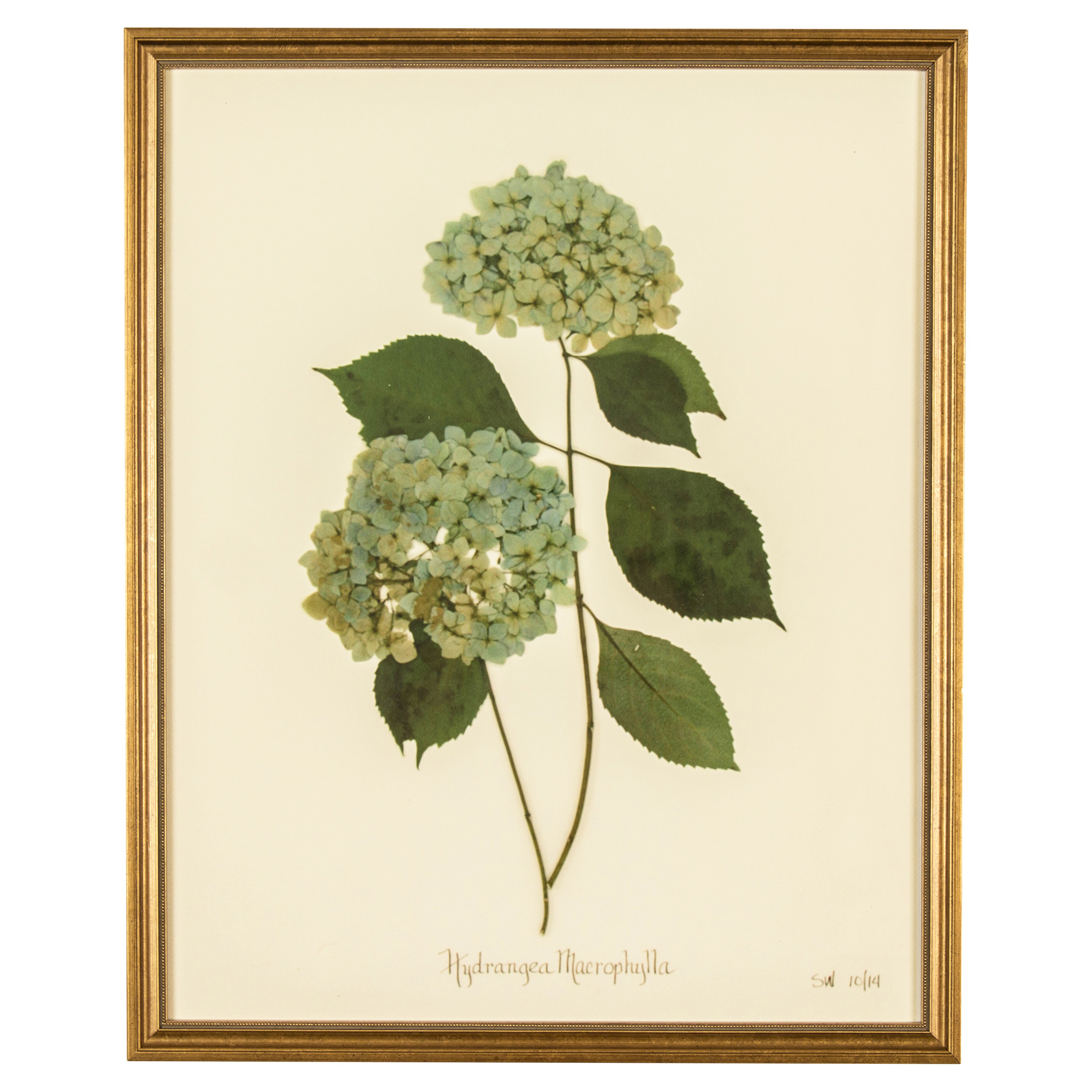French Hydrangea Macrophylla Print Botanical Framed Wall Art - II