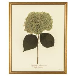 French Hydrangea Arborescens Print Botanical Framed Wall Art