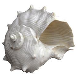 White Fiji Shell Oly Studio Decorative Ornament