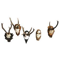 Black Forest Roe Buck Vintage Antler Wall Mount Trophy