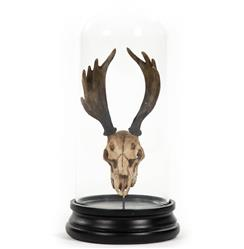 Yuma Rustic Lodge Reproduction Moose Antler Trophy in Glass Cloche