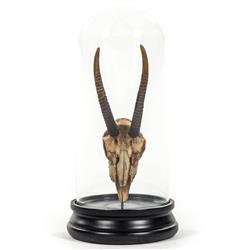 Yuma Rustic Lodge Reproduction Gazelle Antler Trophy in Glass Cloche