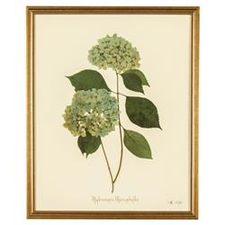 French Hydrangea Macrophylla Print Botanical Framed Wall Art - II | Kathy Kuo Home