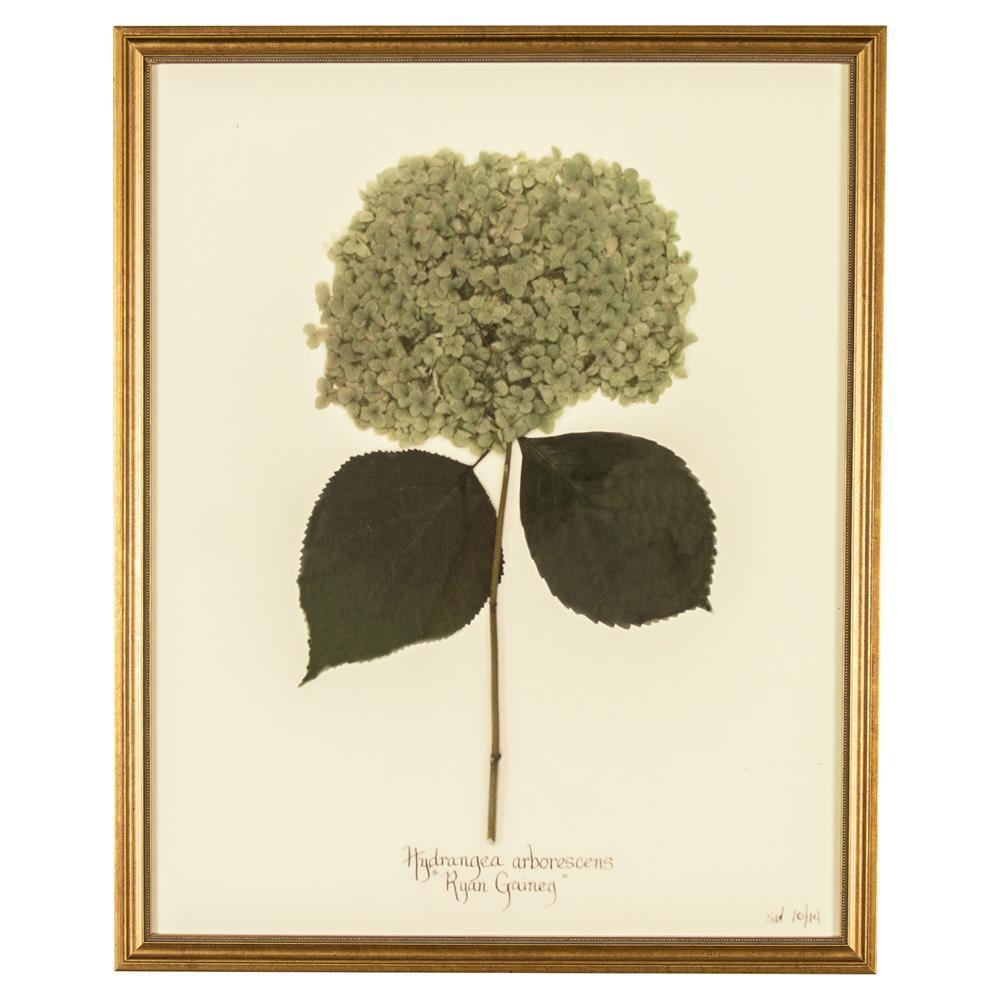 French hydrangea arborescens print botanical framed wall for Framed wall art