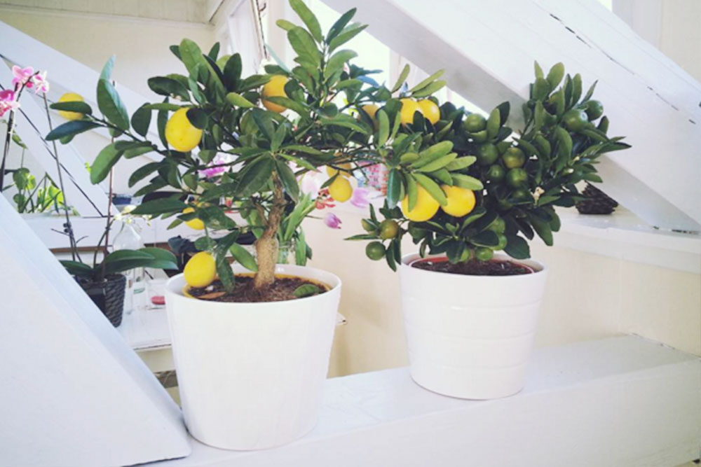 kathy kuo home lemon tree
