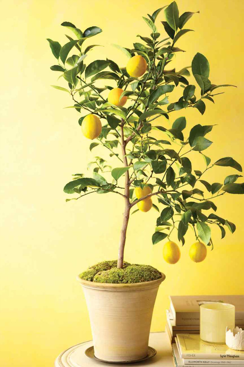 kathy kuo home indoor dwarf lemon tree