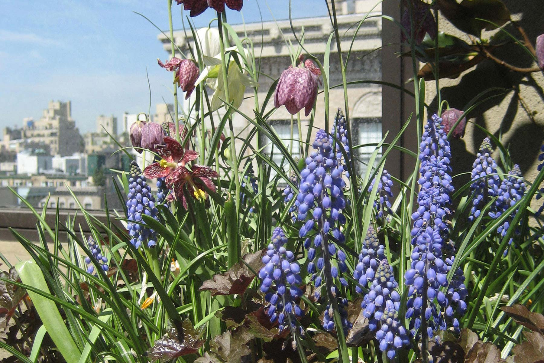Upper East Side terrace by Gunn Landscape Architecture featuring Fritillaria meleagris
